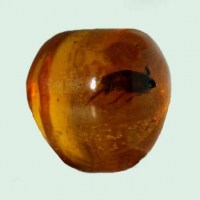 Blatodeo en Amber-insects-Russia