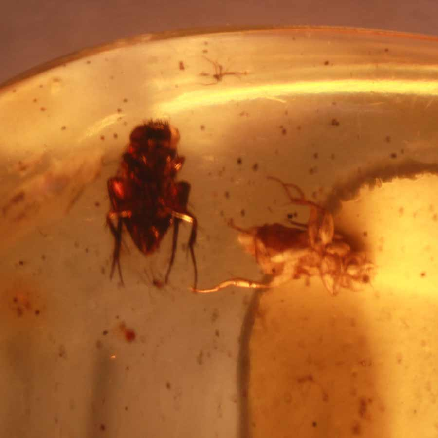 Amber insect_Eocene_Baltic Sea