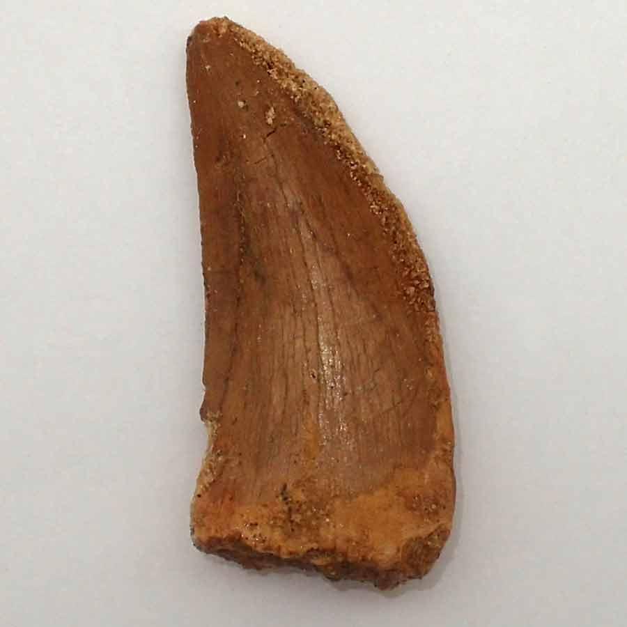 Carcharadontosaurus saharicus (2005 Brusatte y Sereno)