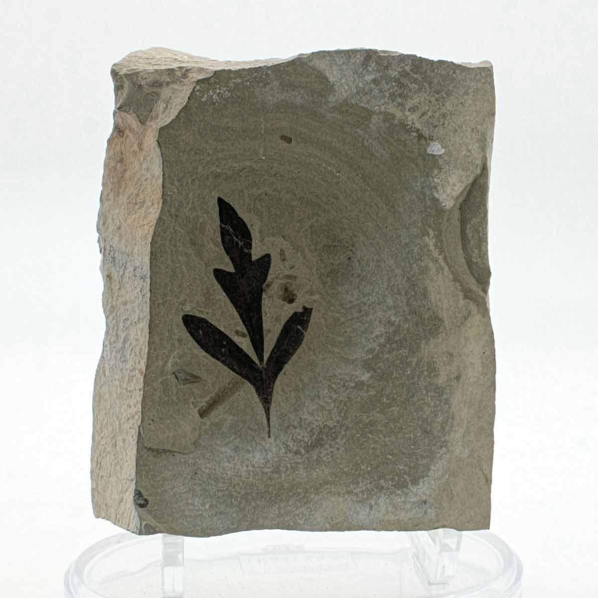 Cardiospermum coloradensis
