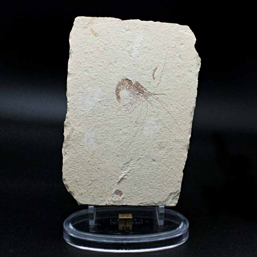 Carpopenaeus callirostris(LAESSNER 1945)