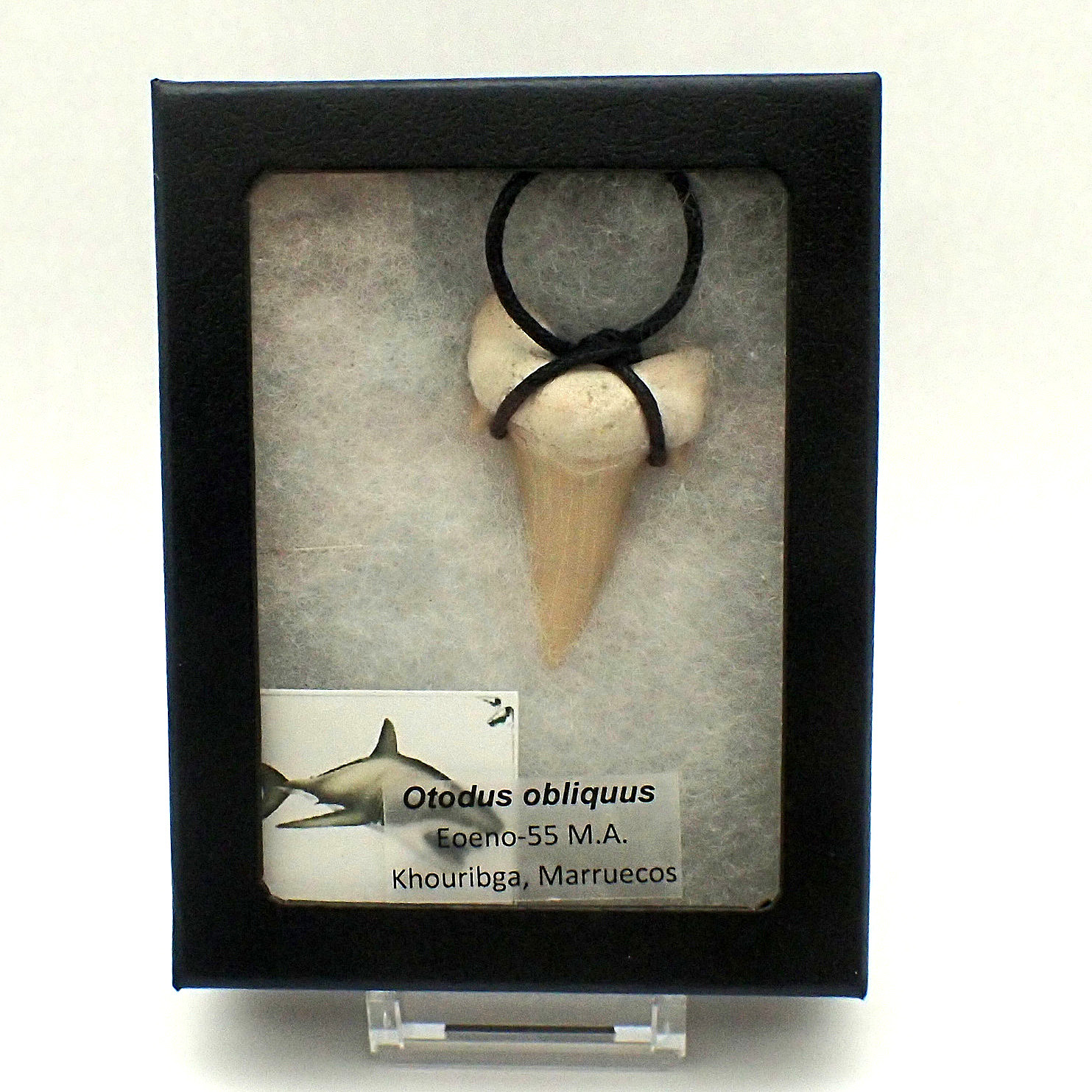 Fossilized shark tooth pendant