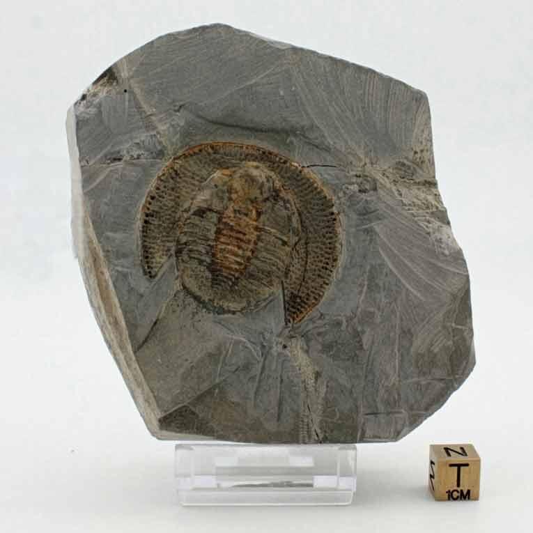 Declivolithus cf. alfredi