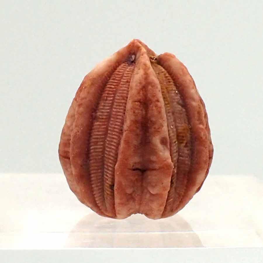 Deltablastus ellipticus