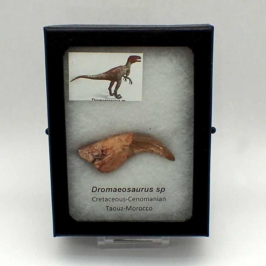 Dromaeosaurus sp.-Garra de mano