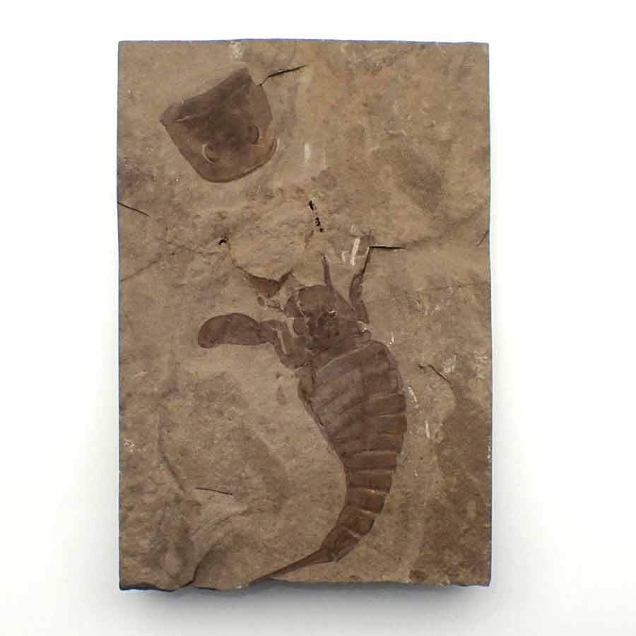 Eurypterus_remipes_silurian_Lang Quarry_USA