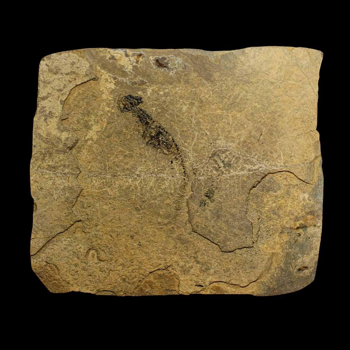 Branchiosaurus;Apateon pedistris