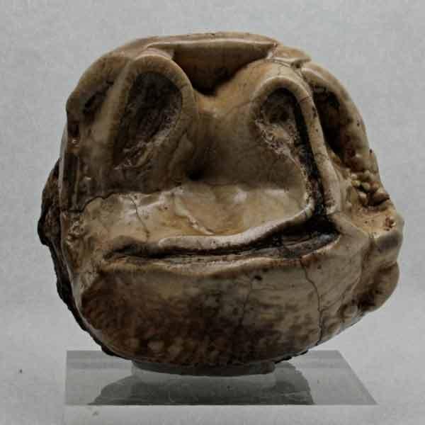 Fósiles: Prodeinotherium bavaricum