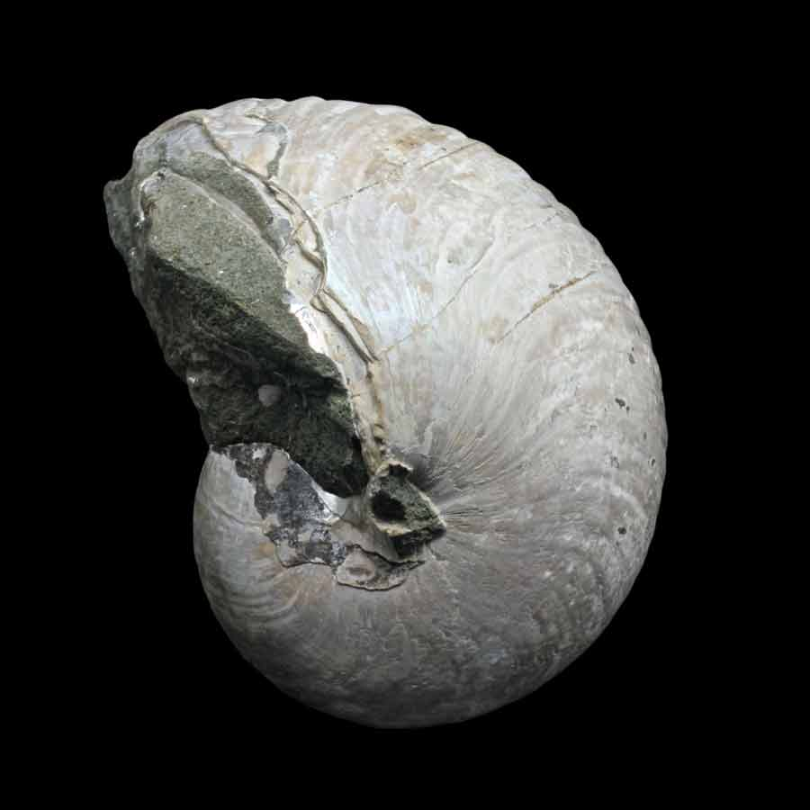 Cymatoceras sakalavum (Collignon 1949)