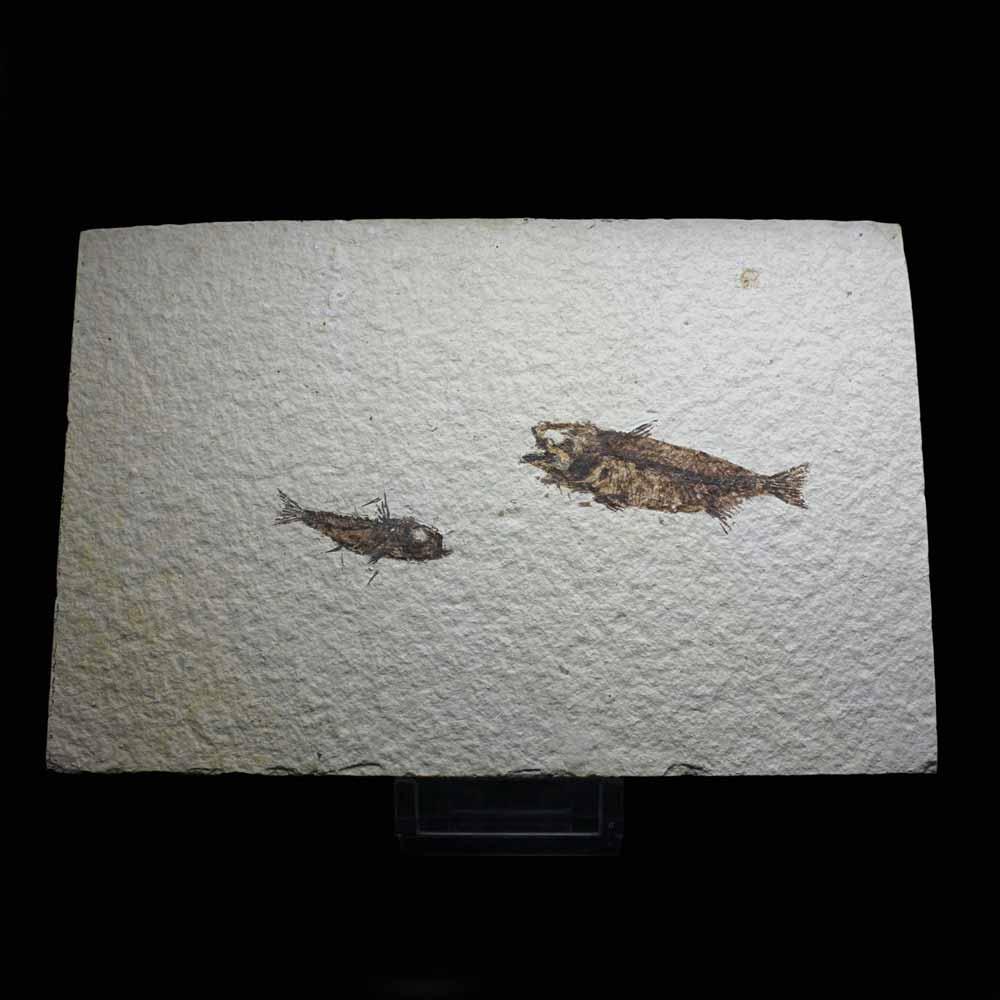 Amphiplaga brachyptera +Priscacara hypsacantha