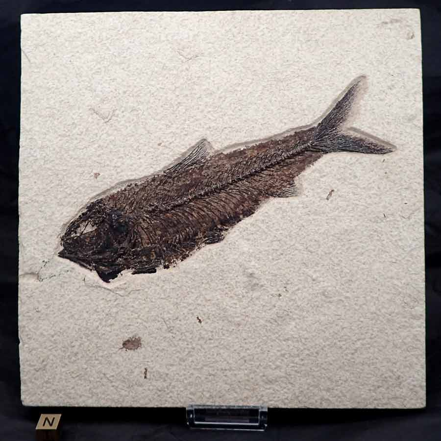 Knigthia_alta_Eocen-wyoming,USA_fisch fossil