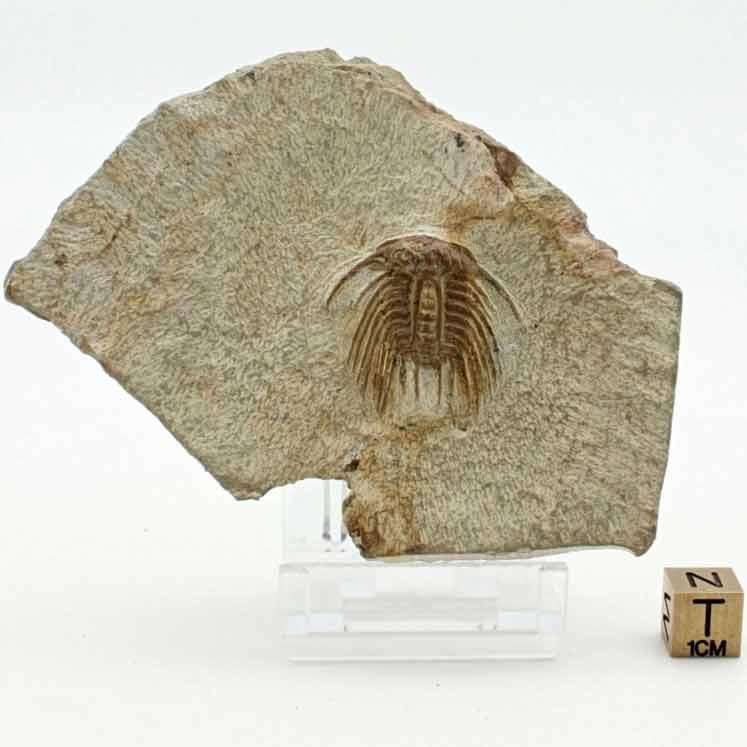 Selenopeltis binodosa