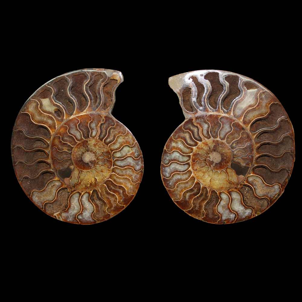 Ammonite cortado;Holcophylloceras sp.