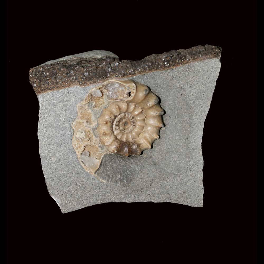 xipheroceras, ammonite, Jurassic, U. Kingdom