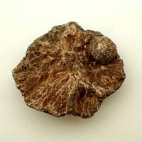 Acervularia ananas-Devonian- Western Sahara_Coral fossil