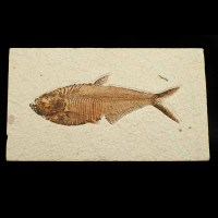 Diplomystus dentatus_eocene-Wyoming_USA