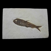 Mioplosus labracoides_wyoming_USA_Fish