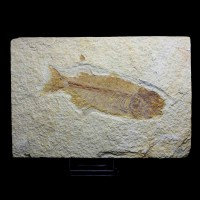Phareodus testis_Eocene,Green River Formation_Wyoming, USA_Fish, Fossil_Pez fosil