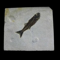 Mioplosus labracoides-Eocene, Green River Formation-Wyoming, USA-Fossil fisch