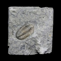 Comptonaspis swallowi-Carbonbifere,Mississippian-Missouri,USA