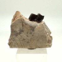 Hyracodon-Oligocene, White River Formation Badlands, S. Dakota, USA-Mandible, Fossil, Mammal,