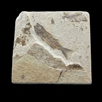 Knigthia_eocaena_Eocen-Wyoming,USA_fisch fossil
