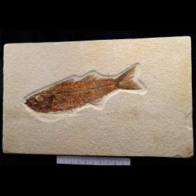 Mioplosus labracoides-Eoceno-Wyoming,USA-Fossil fish