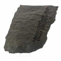 Pecopteris integra-Carboniferous- Lancashire, UK