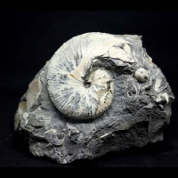 ammonite conradi discoscaphites, Cretaceous Fox Hills formation, S. Dakota, USA