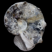 ammonite, Mammites nodosoides, Upper Cretaceous, lower Turonian, Morocco
